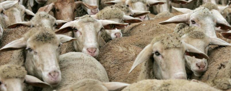 Schafe auf das Tempelhofer Feld!